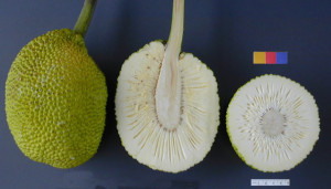 breadfruit raw